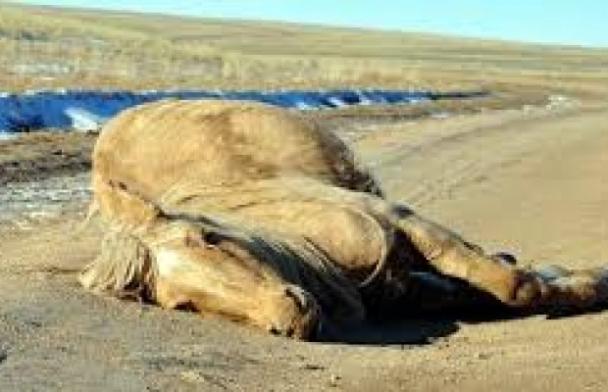 Саалийн үнээний тэжээлийн тунг хэтрүүлэн өгснөөс найман морь үхсэн гэв